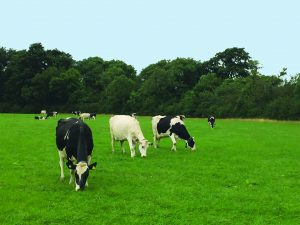 cows-eating-grass-sm